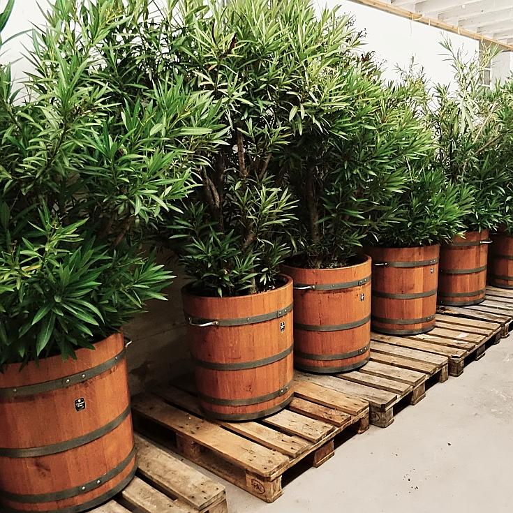 Holzpflanzkübel - Pflanzkübel Holz  - Oleander